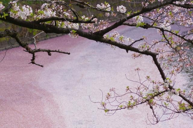 千鳥ヶ淵桜イメージ