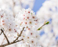 お花見イメージ