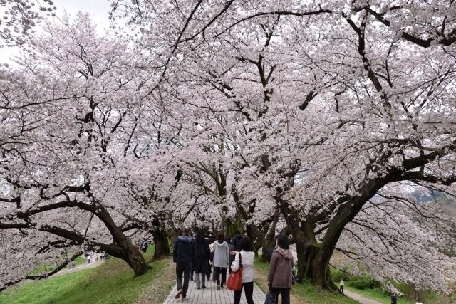 淀川河川公園桜