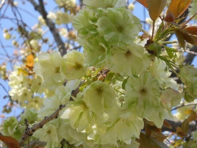 造幣局の変わった桜